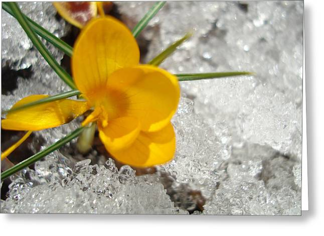 Yellow Crocus Greeting Card by Kim French
