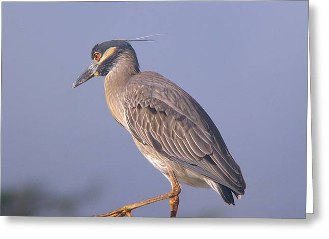 Greeting Card featuring the photograph Yellow Crowned Night Heron by Brian Wright