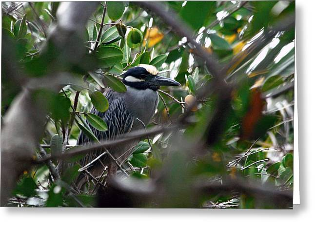 Yellow-crowned Night Heron Greeting Card