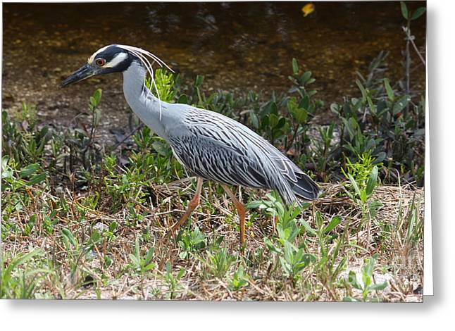 Yellow-crowned Night Heron On Sanibel Greeting Card by Carol Groenen