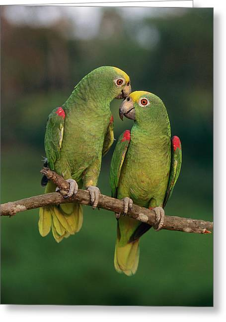 Yellow-crowned Parrot Amazona Greeting Card by Thomas Marent