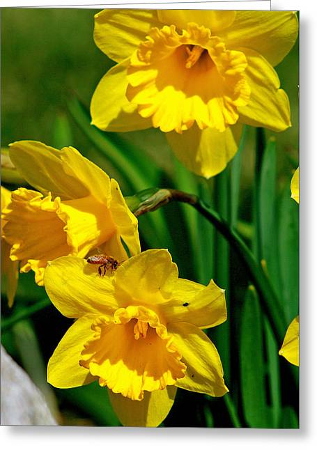 Yellow Daffodils And Honeybee Greeting Card by Kay Novy