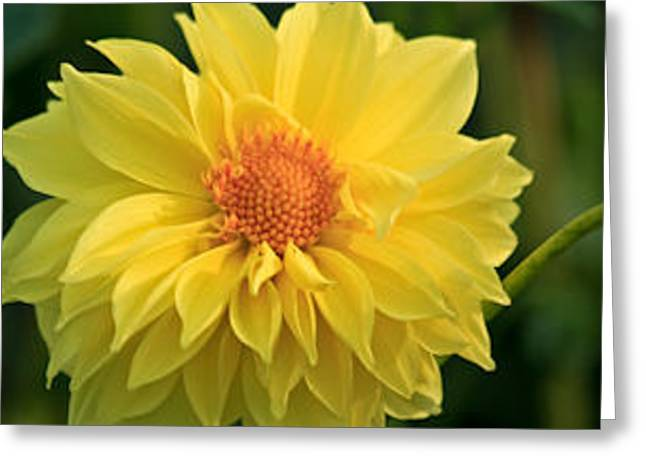 Greeting Card featuring the photograph Yellow Dahlia by Ann Murphy