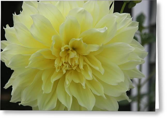 Yellow Dahlia Greeting Card