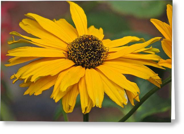 Greeting Card featuring the photograph Yellow Gerber Daisy by Eve Spring