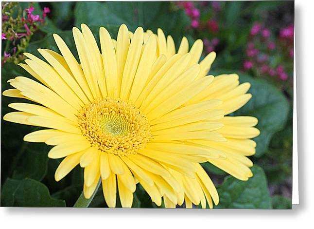 Yellow Gerbera Greeting Card by Becky Lodes
