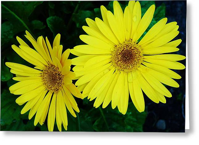 Yellow Gerbers Greeting Card by Jeanette Oberholtzer