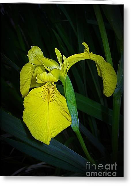 Yellow Iris Greeting Card by Judi Bagwell