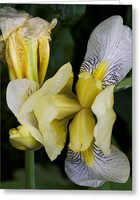 Yellow Iris Greeting Card by Michael Friedman
