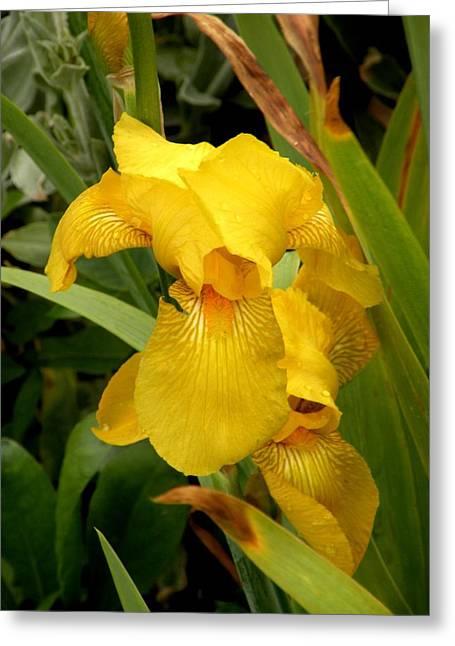 Yellow Iris Tasmania Australia Greeting Card by Sandra Sengstock-Miller
