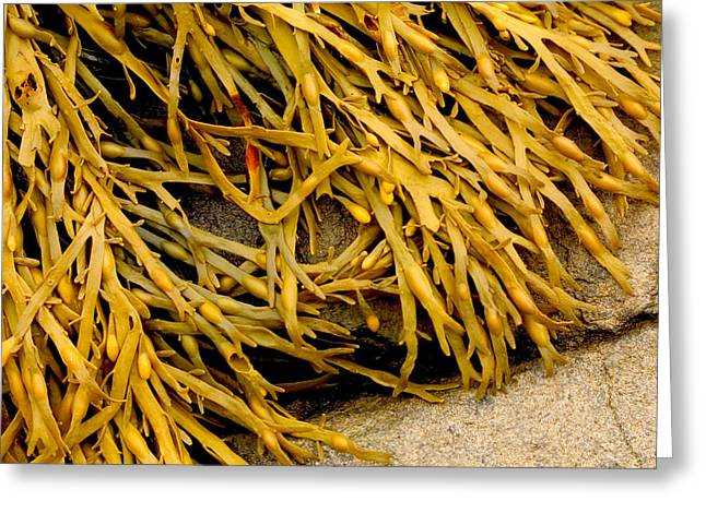 Greeting Card featuring the photograph Yellow Kelp by Brent L Ander