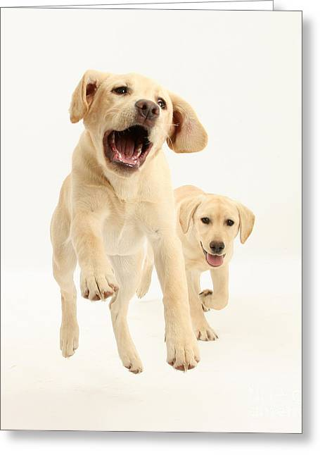Yellow Labrador Pups Leaping And Running Greeting Card
