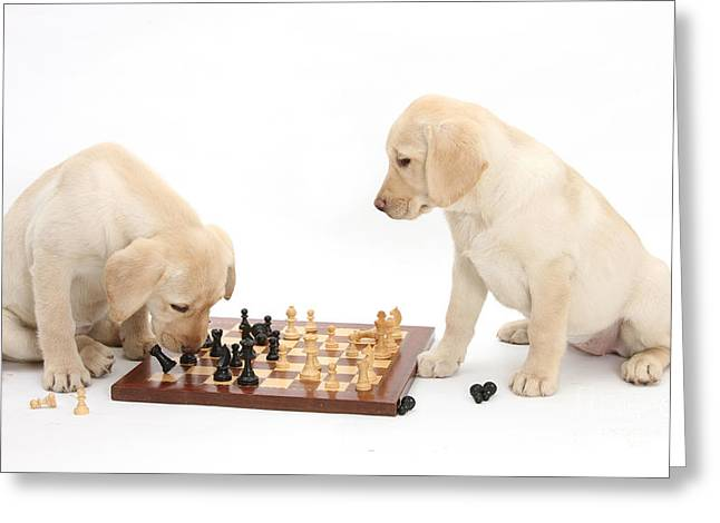 Yellow Labrador Retriever Pups Playing Greeting Card by Mark Taylor