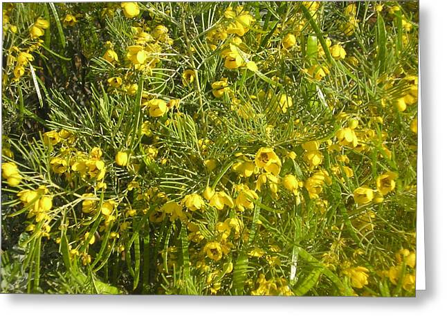 Yellow Mesquite Greeting Card