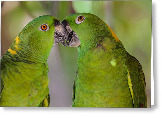 Yellow Naped Parrots Kissing Greeting Card by Craig Lapsley