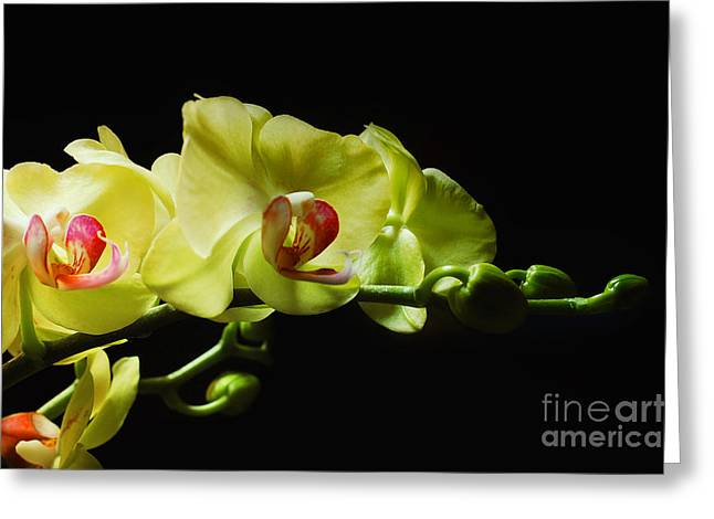 Yellow Orchids Greeting Card by Elaine Manley