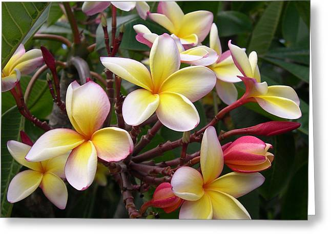 Yellow Plumeria Greeting Card by Claude McCoy