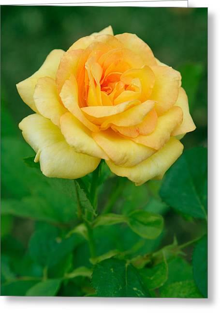 Yellow Rose Greeting Card by Atiketta Sangasaeng