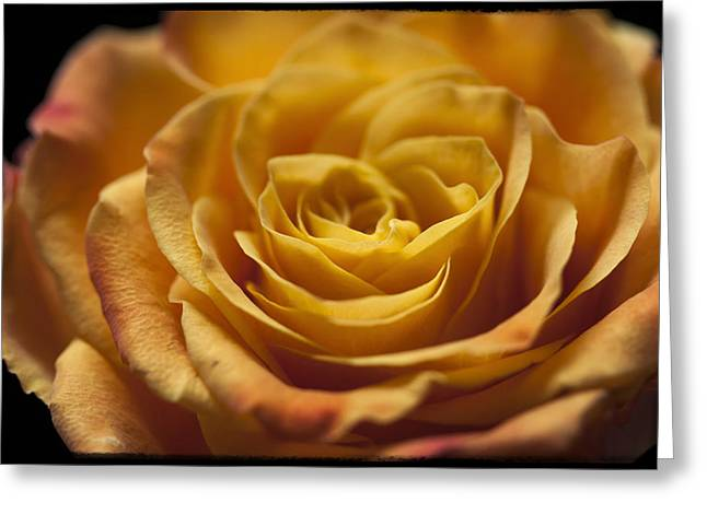 Yellow Rose Bud Greeting Card by Zoe Ferrie