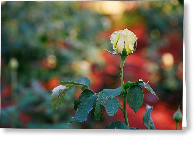 Yellow Rose Greeting Card by Timothy Turner