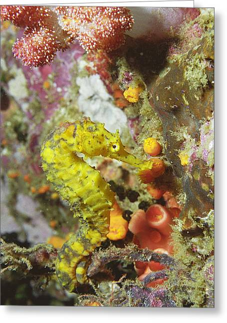 Yellow Seahorse Greeting Card by Peter Scoones