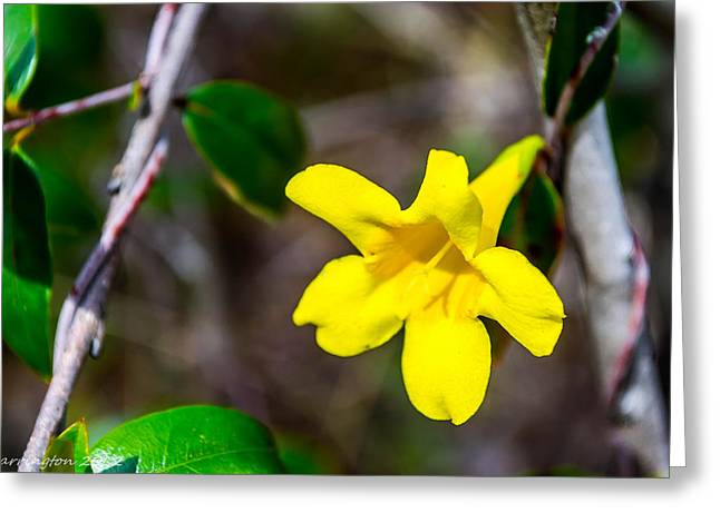 Greeting Card featuring the photograph Yellow by Shannon Harrington