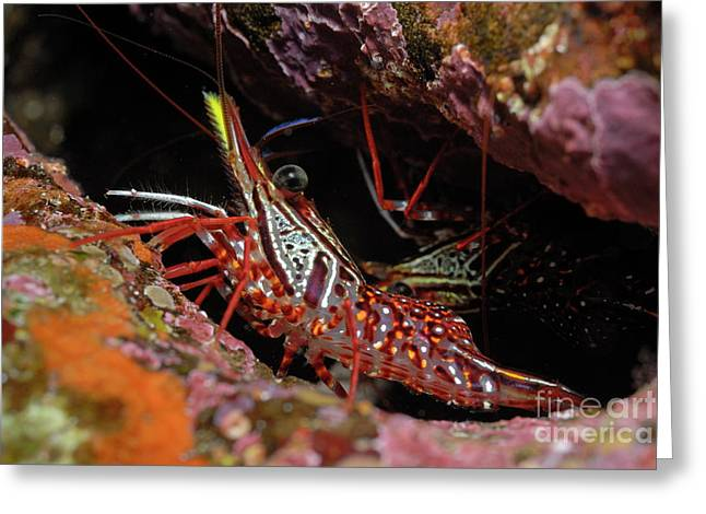 Yellow Snout Red Shrimp Greeting Card by Sami Sarkis