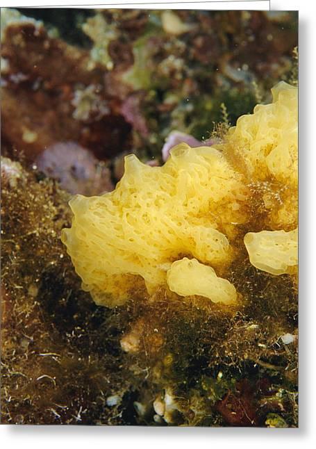 Yellow Sponge Greeting Card by Alexis Rosenfeld