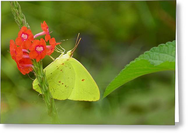 Yellow Sulfur Butterfly Greeting Card by Judy Wanamaker