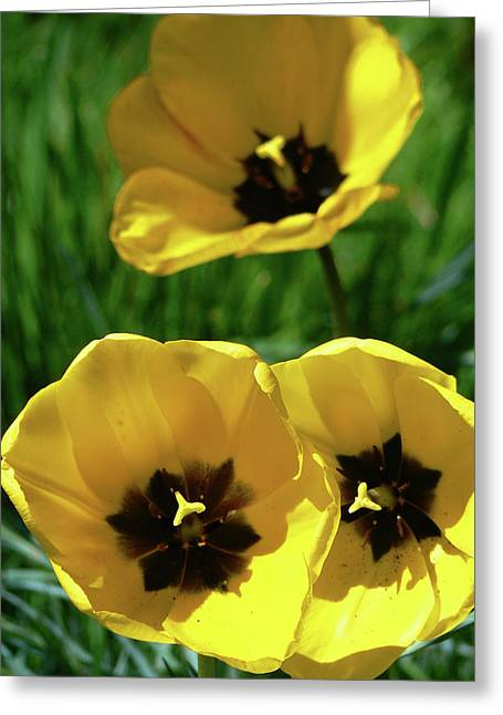 Yellow Trio Greeting Card by Pamela Patch