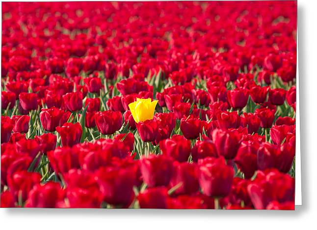 Greeting Card featuring the photograph Yellow Tulip by Hans Engbers
