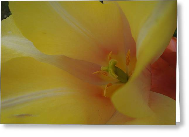 Yellow Tulip Trumpet Greeting Card