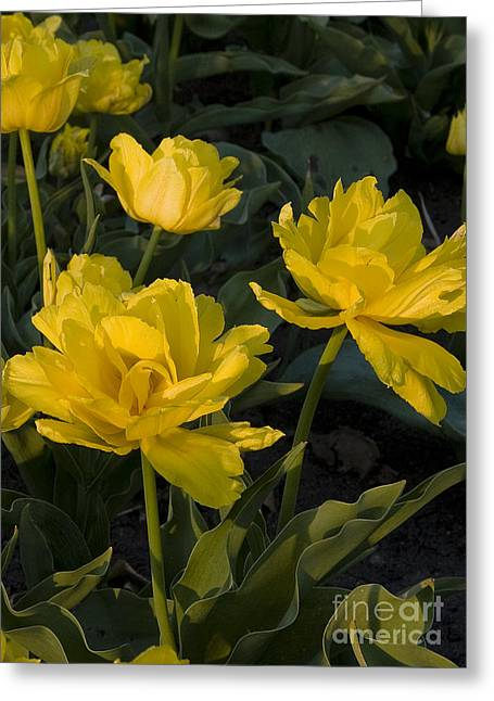 Yellow Tulips  Tulipes Jaune Greeting Card by Nicole  Cloutier Photographie Evolution Photography