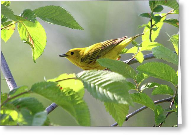 Yellow Warbler Greeting Card