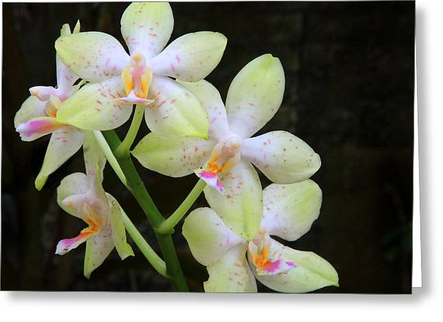 Yellow White Orchid Greeting Card by Nicholas Burningham