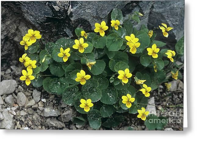 Yellow Wood Violet Flowers, Viola Biflora Greeting Card by Bob Gibbons