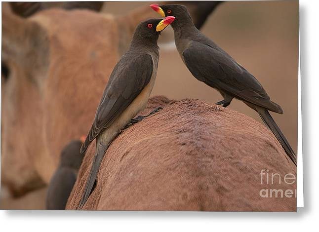 Yellowbilled Oxpeckers Greeting Card
