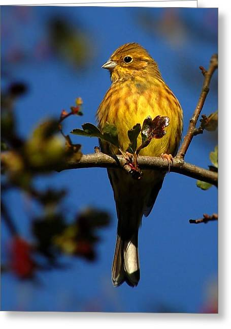Yellowhammer Greeting Card