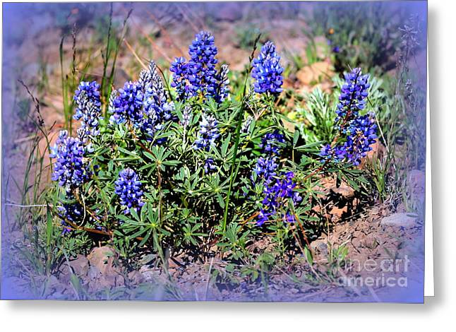 Yellowstone Lupine Blue Greeting Card by Carol Groenen
