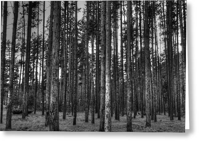 Yellowstone Trees Bw Greeting Card by Bruce Friedman