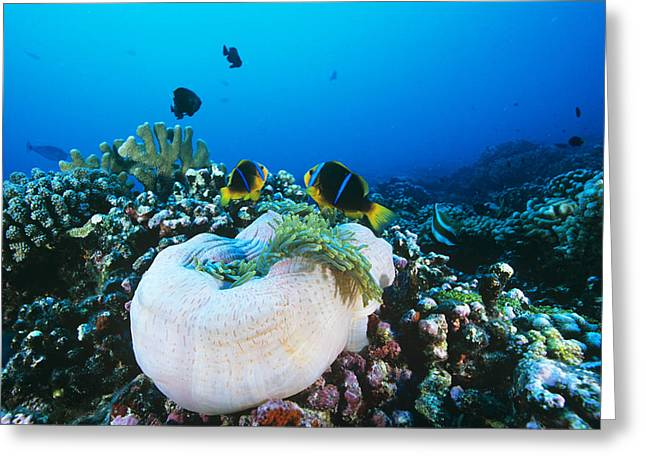Yellowtail Anemonefish By Their Anemone Greeting Card by Alexis Rosenfeld