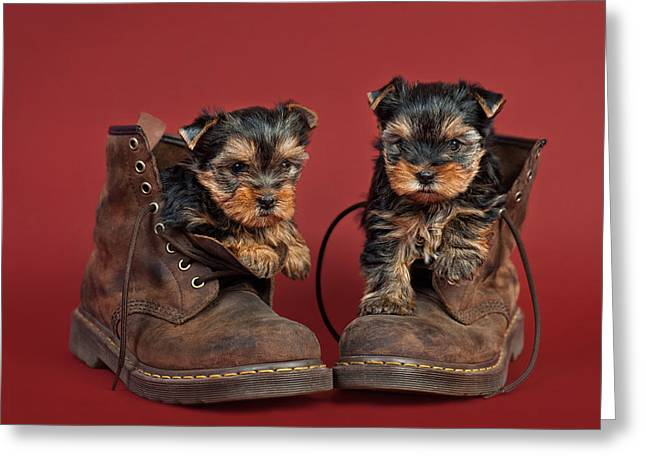 Yorkshire Terrier Puppies  Greeting Card by Marta Holka