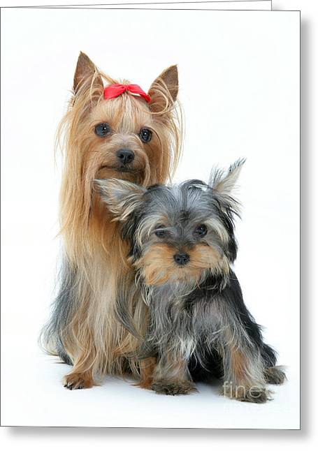 Yorkshire Terriers Greeting Card by Jane Burton