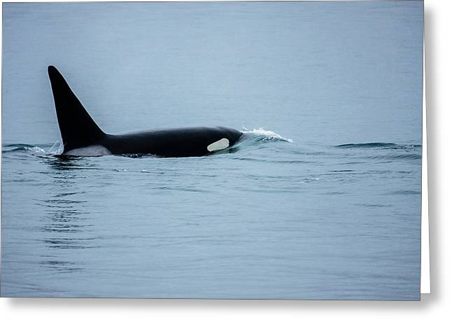 Young Bay Orca Greeting Card by Josh Whalen