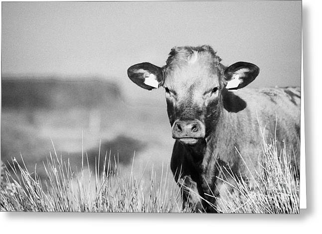 Young Brown Cow With Yellow Ear Tags Eye Contact In Long Grass In Ireland Greeting Card by Joe Fox