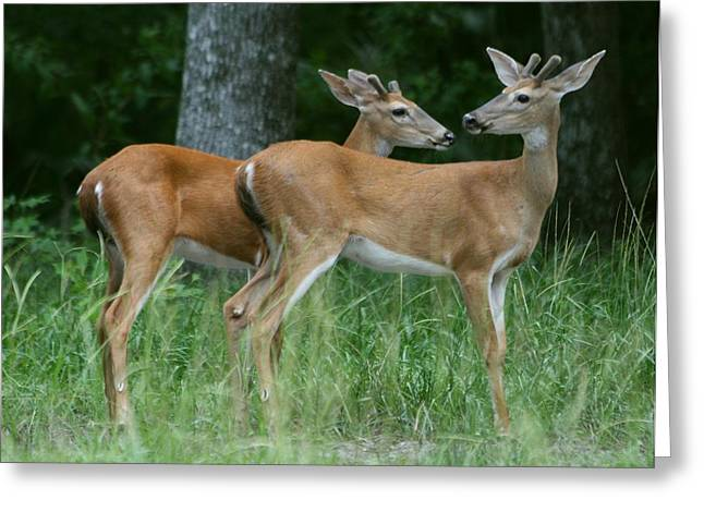 Greeting Card featuring the photograph Young Bucks by Myrna Bradshaw