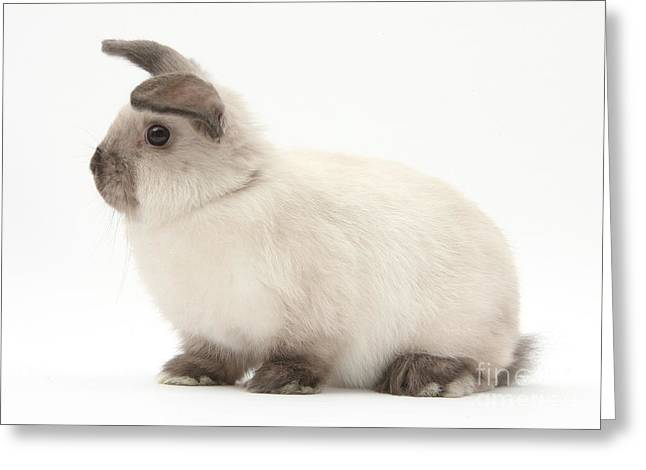 Young Colorpoint Rabbit Greeting Card by Mark Taylor