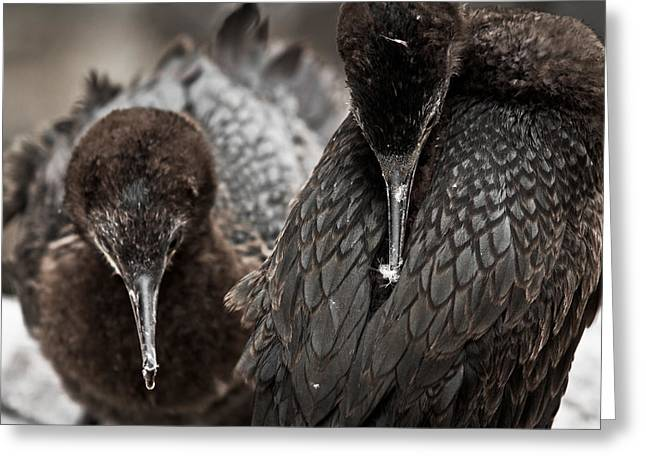 Young Cormorants Greeting Card by Justin Albrecht