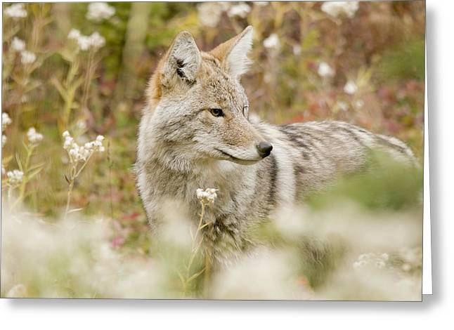 Young Coyote Canis Latrans In A Forest Greeting Card