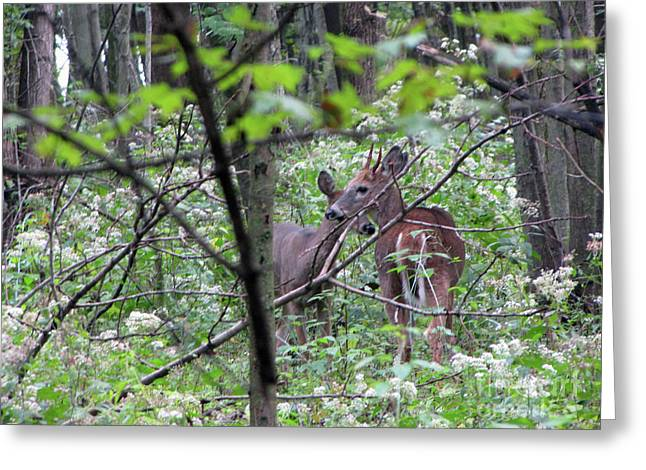 Young Deer In Flossmoor Forest Greeting Card by Cedric Hampton